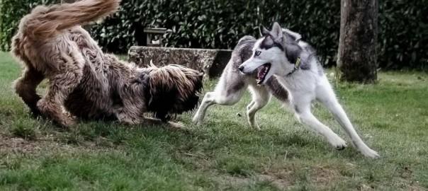 Jeux de Briard et d'Husky